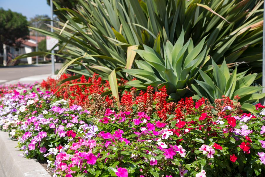 What is the difference between perennials and annuals perennial flowers continue to grow year after year by remaining dormant through the winter annual flowers are planted in the spring and summer and die once mightylinksfo