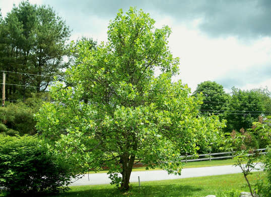 five perfect shade trees for your property  terracare associates, Natural flower